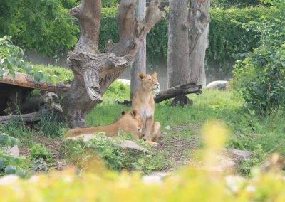 Danish_Lioness_02