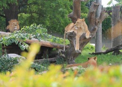 Danish_Lions01