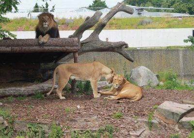 Danish_Lions03