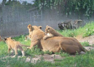 Danish_Lions11