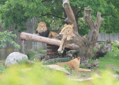 Danish_Lions15
